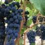 grappoli di uva barbara vigna Roccabianca